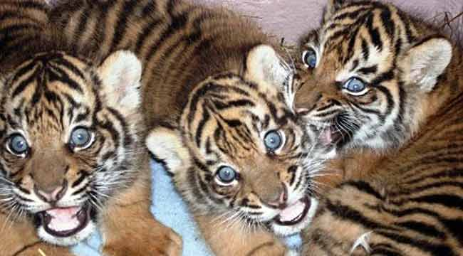 THREE'S NO CROWD: After a call for names, Auckland zoo has now decided on a shortlist of three names for each of the three 12-week-old tiger cubs.