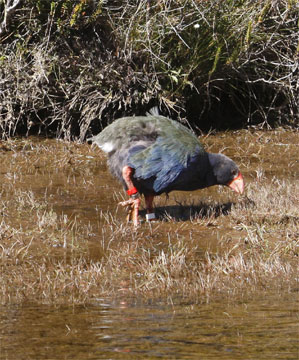 Takahe foraging at the edge of the Tunnelburn Stream as it leaves Lake Orbell towards Lake Te Anau.