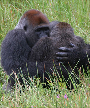 ريت gorilla position sex