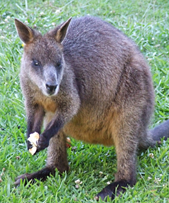 More Wallaby Deaths Stuff Co Nz