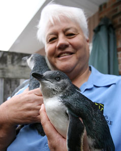 PAMPERED PENGUINS: A little blue penguin rescued from Browns Bay is taken for a daily swim in rock pools with his friends by volunteer Annwyne Standish.
