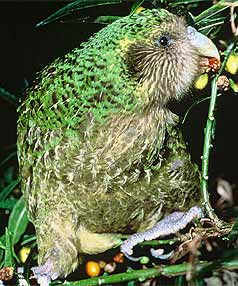 ENDANGERED: The kakapo is among species of New Zealand birds which remain at critical risk.