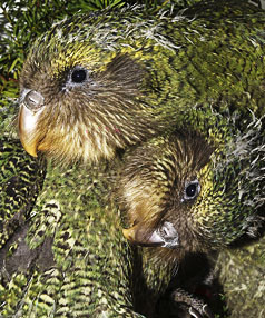 LOOKING PRETTY: Two of the kakapo chicks, that are likely to be on display next Saturday at the Invercargill Workingmen's Club.