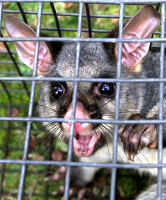 POSSUMS FOR PROFIT: Last time a bounty was placed on possum carcasses, someone released possums into Northland threatening local kiwis.