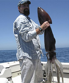 HUMBOLDT SQUID: Large numbers of the jumbo flying squid are terrorising divers in the US.