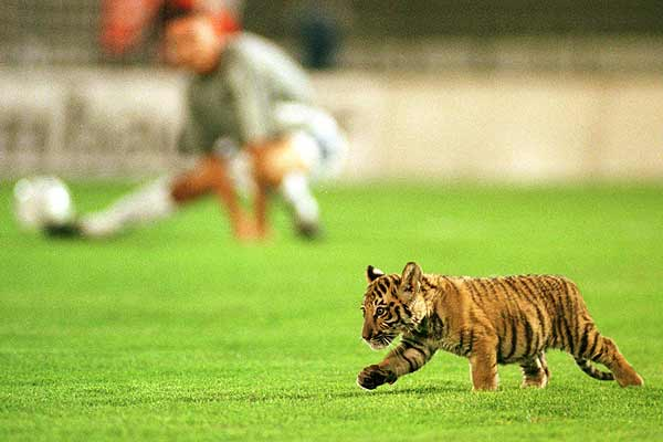 Obilic Belgrade's mascot, a baby tiger, parades on the pitch during the warm-up before the start of the European Cup 2nd leg qualifying match with[Bayern Munich in Belgrade.