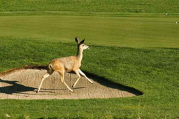 A wild deer runs through a sand trap at Priddis Greens during the Pro-Am at the Canadian Women's Golf Open in Priddis near Calgary.
