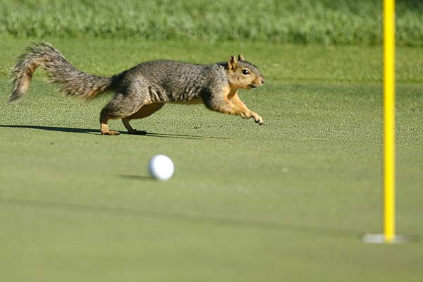 A squirrel runs past Angel Cabrera's ball on the 12th green during the second round of the 90th PGA Championship golf tournament at the Oakland Hills Country Club in Bloomfield Township, Michigan.