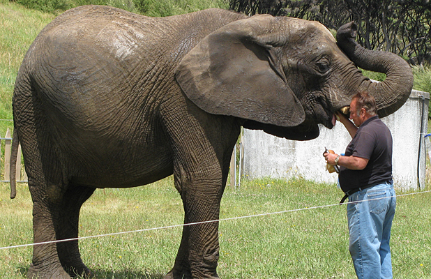 CLOSE BOND: Elephant handler Tony Ratcliffe has a close bond with Jumbo, working with her for 28 years.