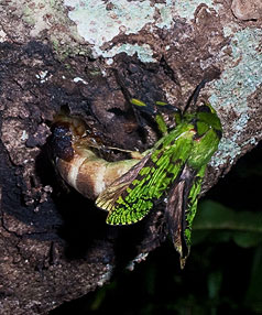 OUT OF THE WOODWORK: An elusive puriri moth is finally caught  emerging from  its burrow in a tree,  after three years of  photographic experimenting.