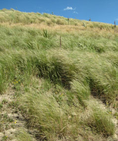 DANGEROUS WEED: The drill-like seeds of chilean needlegrass stick to the wool of sheep and push into the skin of the animal, eventually killing it or making its meat inedible.
