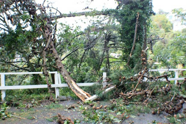 Trees blown over by a fierce southerly blast