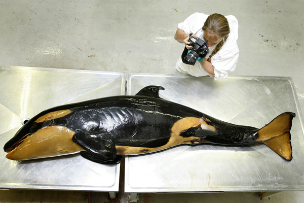 ON THE SLAB: The baby whale is photographed in a Te Papa laboratory by Ingrid Visser, of the Orca Research Trust.