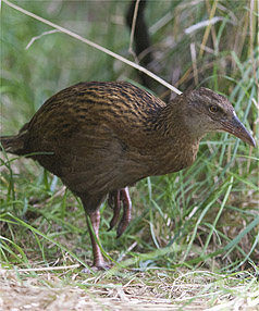 RESTING UP: A Weka rests at Orana Wildlife Park after being captured in Christchurch.