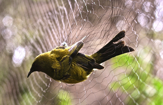 SONGBIRD: One of the bellbirds captured in mist netting at Tawharanui for the translocation.