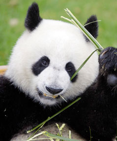 pm s panda diplomacy fails to woo auckland zoo stuff co nz