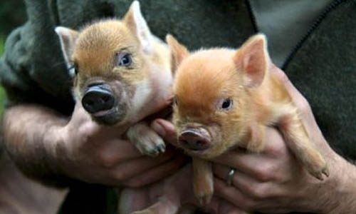 Kune kune piglets at Willowbank Wildlife Reserve