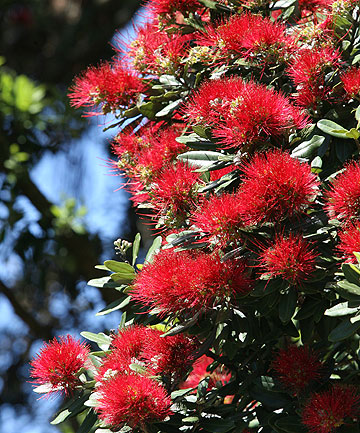 """CURSED RELIC"": Nearly 5000 pohutukawa trees were planted in San Francisco in the 1980s."