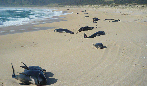 OFF COURSE: Pilot whales stranded at remote Spirits Bay, 90km north of Kaitaia.