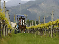 Workhorse: Seresin Estate's new six-year-old clydesdale Bill helps spray biodynamic solution among the vines at the Wairau Valley vineyard. He is driven by Phil Amberger, who is assisted by his brother Ron, both of Nelson