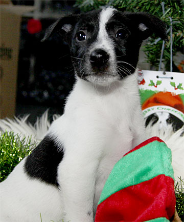 FURRY CHRISTMAS: Don't forget the SPCA this Christmas. Pixi is from an SPCA in Taranaki and is looking for a new home.