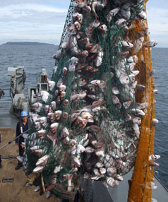 BIG LOAD: Ten tonnes of fish was winched aboard the HMNZS Manawanui.