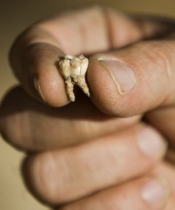 LIFE CHANGING: Professor Avi Gopher from the Institute of Archeology of Tel Aviv University holds an ancient tooth found at a dig site near Rosh Haain, central Israel. Archaeologists say they may have found the earliest evidence yet for the existence of modern man.