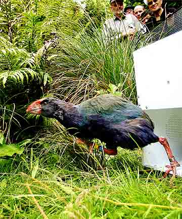 LEGGING IT: One   of Zealandia's two new takahe  arrivals dashes off into its new pen at the Wellington wildlife sanctuary under the watchful eye of conservation manager Raewyn Empson and other staff.