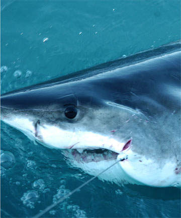 GOT YOU: Grim is hooked while a spot tag is attached to his dorsel fin. He has since swum to Fiji and back.
