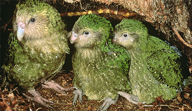 WORTH PROTECTING: The Conservation Department says it has no intention of dropping its attempts to save the the kakapo.