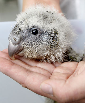 IMPORTANT PATIENT: The sick baby kakapo, known as Solstice One,  which has been sent to Wellington Zoo for diagnosis and treatment.