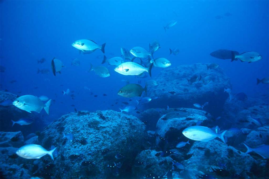 The underwater landscape of the Kermadec Islands is devoid of large brown kelps, though small turfing algae are abundant. Most schooling fishes are plankton feeders.