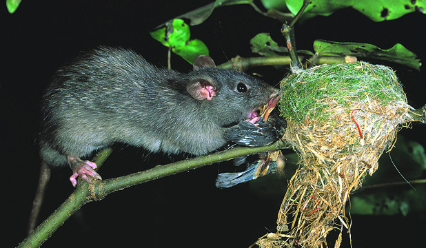 should 1080 be used to control forest pests in new zealand Stoats and other introduced pests to be  existing pest control methods in new zealand include the  the royal society of new zealand forest and bird .