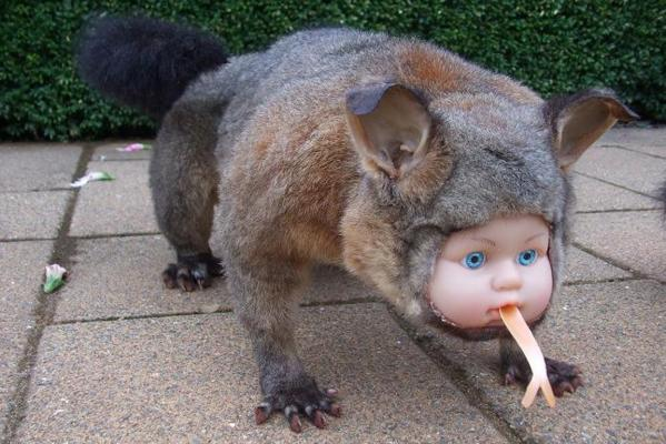 A dolls' head in a possum's body.