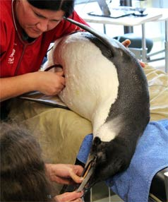 MEDICAL HELP: Wellington Zoo staff prepare Happy Feet for one of his  stomach-flushing operations.
