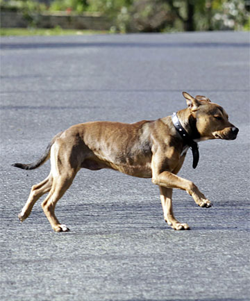 WANDERING: The dog that attacked and killed a poodle in Te Aroha was yesterday photographed still roaming the streets.
