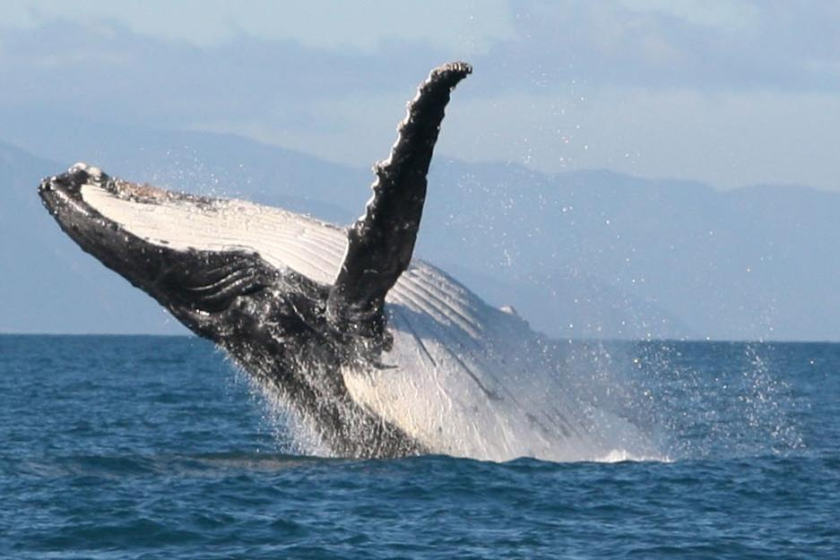 A humpback puts on a show. The animals are renowned for their athletic abilities and will often treat sight-seers to a impromptu performance.