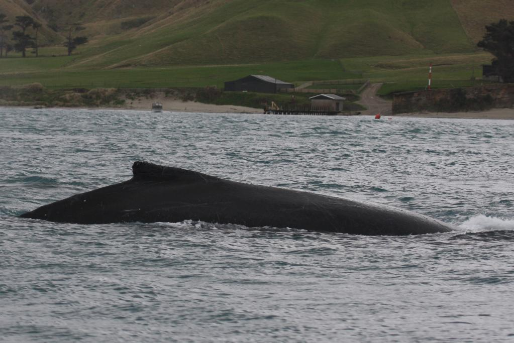 A whale breaches in the Cook Strait. The whales stay underwater for around 8-10 minutes between coming up for air.