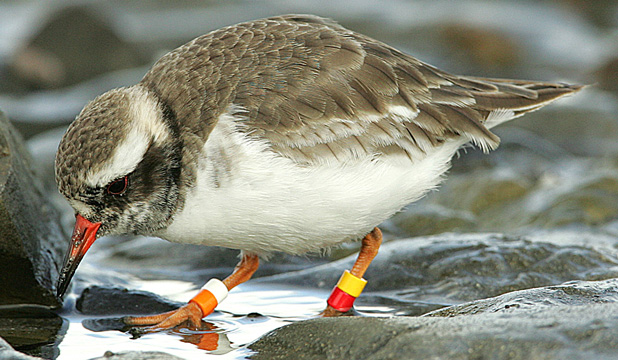 TAKE FLIGHT: A flock of shore plovers has made its way back to Mana Island after a brief stint in Plimmerton.