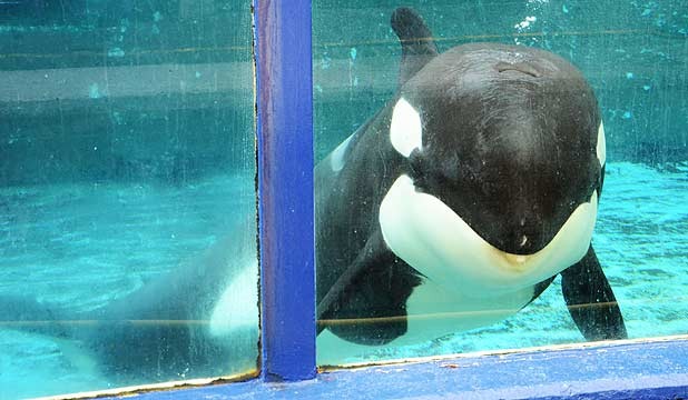 IN CAPTIVITY: Morgan the killer whale.