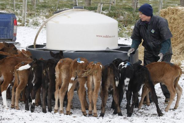 Cows and snow