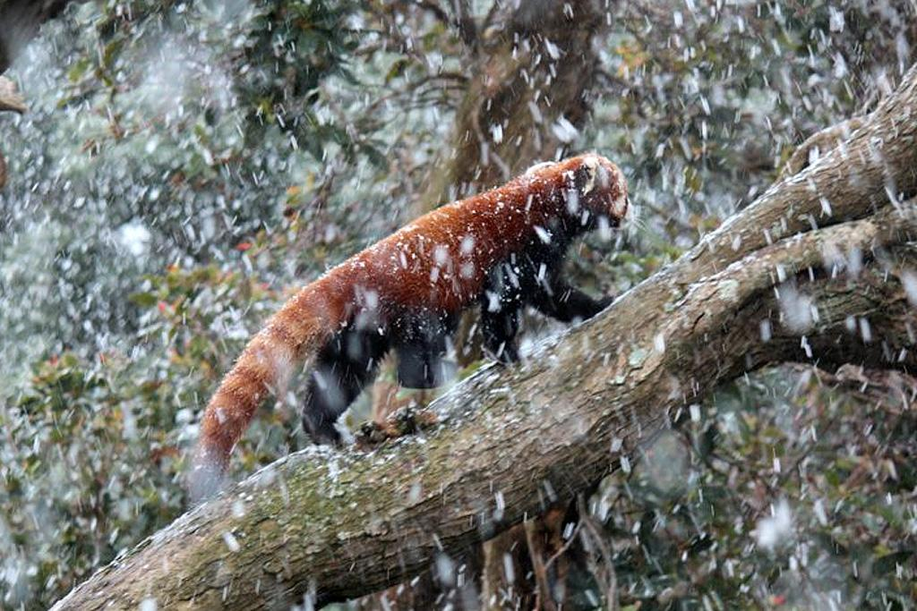 A red panda at Wellington Zoo walks in the trees during a snow storm in Wellington.