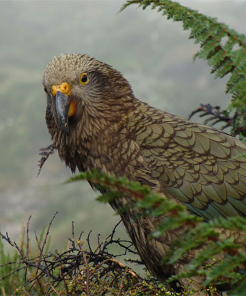 AT RISK: Kea are endangered and their wild population could be as low as 1000 birds.