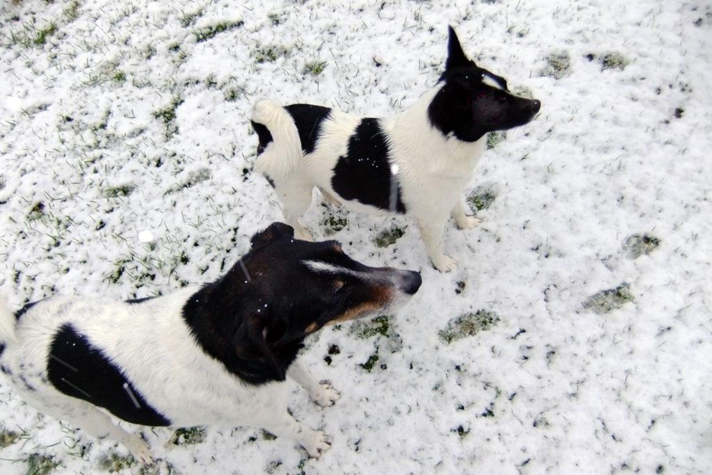 Tess and Ozzie enjoy the snow in Belmont, Lower Hutt.