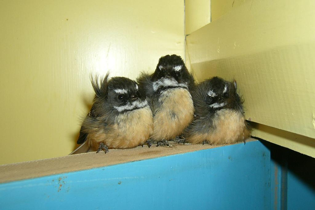 Fantails at the Sail residence
