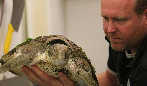 LUCKY TURTLE: Kelly Tarlton's curator AJ Christie and the green turtle found on Karekare Beach.