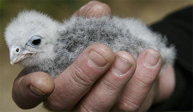 WEE BLOB: The 10-day-old falcon chick at Zealandia sanctuary.