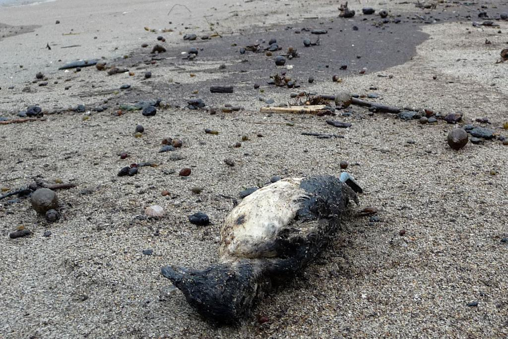 CASUALTY: One of the penguins that died following the oil spill. This was found at Papamoa just after high tide today.