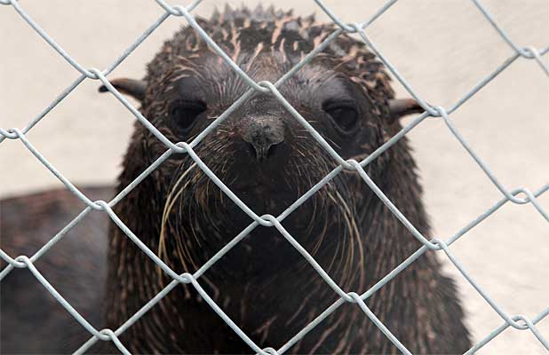 Rescued fur seal