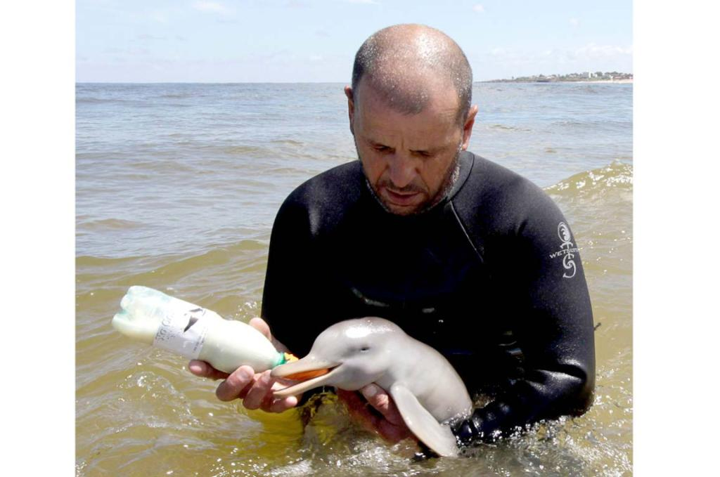 The head of the NGO SOS Rescate Fauna Marina, Richard Tesore, bottle feeds the rescued baby La Plata dolphin.